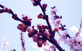 Preview wallpaper Cherry flowers, buds, petals, spring, twigs