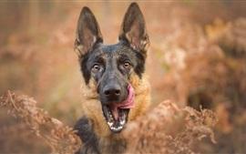 Cão, face, língua, bokeh