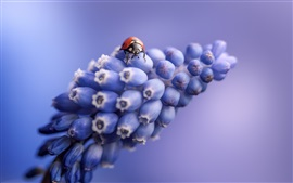 Preview wallpaper Grape hyacinth flowers, ladybug, blue