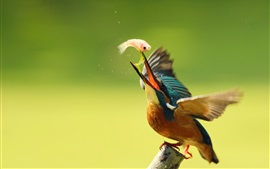 Kingfisher eating fish, wings, blur