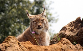 Preview wallpaper Lynx relax, rocks, flower, bokeh
