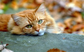 Preview wallpaper Orange cat, rest, eyes, autumn