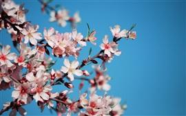 flores de cerejeira cor de rosa pétalas, ramos, primavera