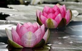 flores cor de rosa, lótus, lírio de água, lago