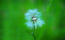 Plant macro, dandelion fluff, stem, green background