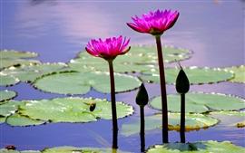 Estanque, hojas, flores de color rosa, lirio de agua, abeja