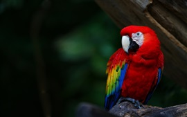 Red feather parrot, macaw, beak