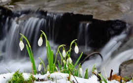Preview wallpaper Snowdrop flowers, snow, waterfall