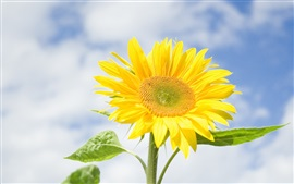 Sunflower, yellow flowers, blue sky, clouds