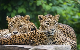 Three leopards, jaguar, rest