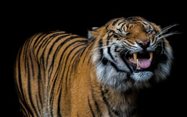 Preview wallpaper Tiger yawn, teeth, fangs, black background
