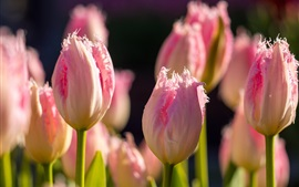 Tulips, pink flowers, buds, bokeh, sunlight