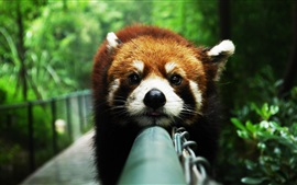 Preview wallpaper Animals close-up, red panda, rest, face, fence
