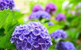 Preview wallpaper Blue hydrangea, spring