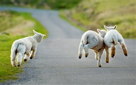 Preview wallpaper Christchurch, New Zealand, road, lambs running