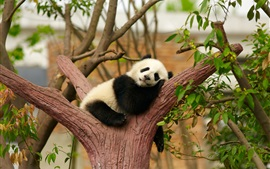 Cute panda bear sleep, rest, tree, zoo