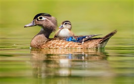 Preview wallpaper Duck swimming, water, motherhood and cub