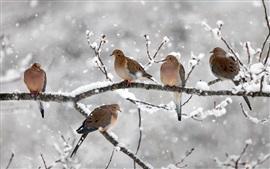 Cinco pássaros, pombas de luto, galhos, neve, inverno, Nova Escócia, Canadá