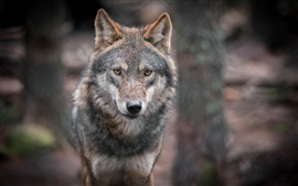Preview wallpaper Gray wolf, predator, portrait, bokeh