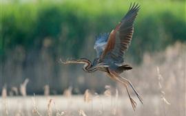 Great blue heron flying, wings, grass