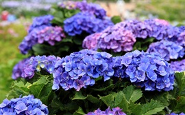 Preview wallpaper Hydrangea flowers blooms in the spring