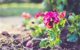 Preview wallpaper Pansy flowers, red petals, plant, bokeh