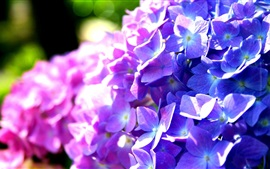 Preview wallpaper Purple and blue hydrangea flowers