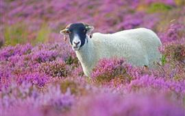 紫色の花のフィールド、かわいい子羊