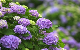Preview wallpaper Purple flowers, hydrangea