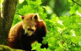 Panda vermelho na árvore, folhas verdes