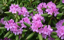 Preview wallpaper Rhododendron flowers, pink, leaves