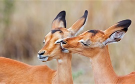 Preview wallpaper South Africa, impala, love kiss