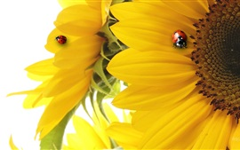Preview wallpaper Sunflower, petals, two ladybugs