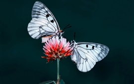 Two butterflies, insect, red flower