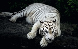 Preview wallpaper White tiger rest