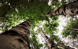 Preview wallpaper Birch forest, trees, leaves, look up