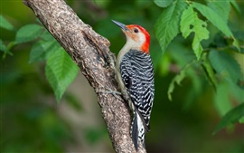 Preview wallpaper Bird close-up, woodpecker, tree