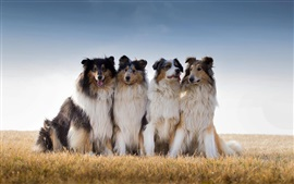 Preview wallpaper Collie, Australian shepherd, dogs