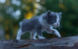 El bebé lindo gatito, peludo, caminar