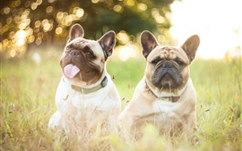 Preview wallpaper French bulldogs, two dogs, grass