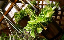 Las plantas verdes de colgar, Pothos