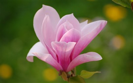 Preview wallpaper Magnolia flower, pink petals, macro photography