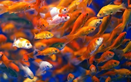 Preview wallpaper Many fish, goldfish, water