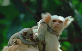 Preview wallpaper Marmoset dad and cubs