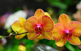 Preview wallpaper Orchid petals, phalaenopsis, orange red