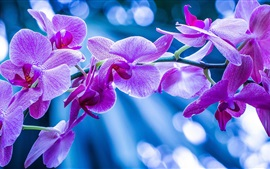 Preview wallpaper Phalaenopsis, orchids, pink flowers, branch