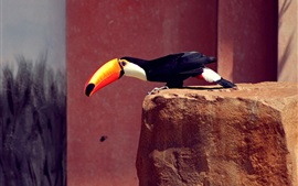 Toucan, orange beak, black feathers, stones