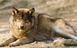 Aperçu fond d'écran Wolf, prédateur, repos