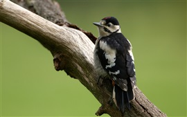 Woodpecker, bird, tree trunk