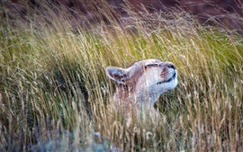 Preview wallpaper Animals, puma, grass